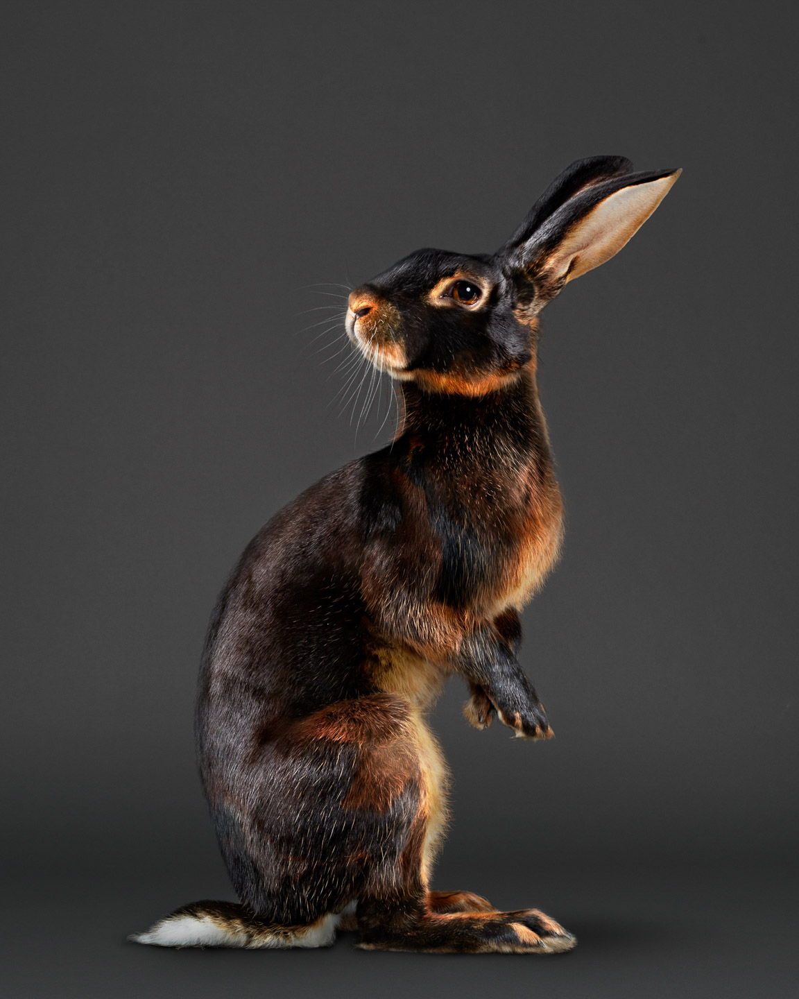 jack the rabbit , belgian hare