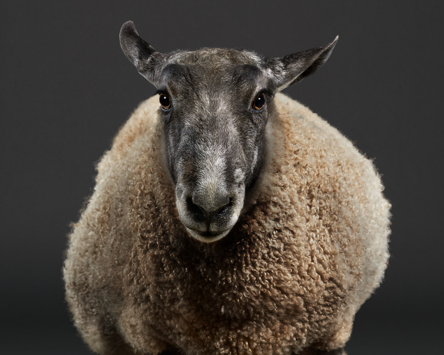 Faulkner the Bluefaced Leicester Ram sheep