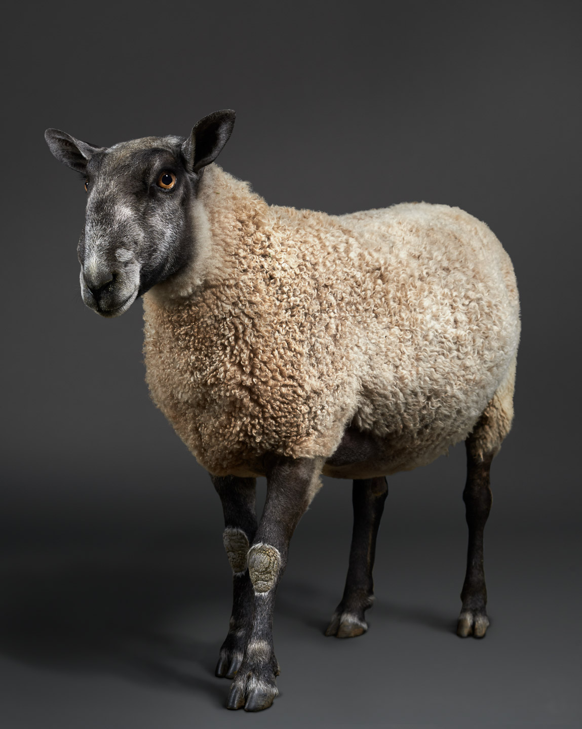 Faulkner the Bluefaced Leicester Ram