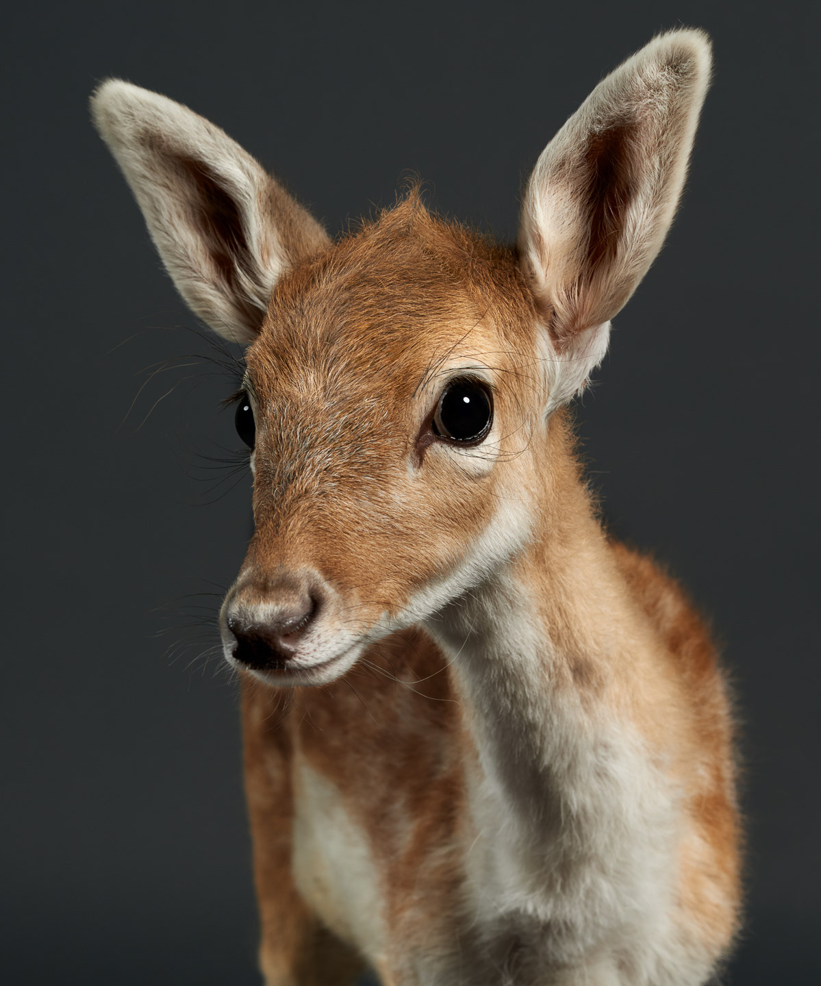 doenut the baby deer fawn bamby