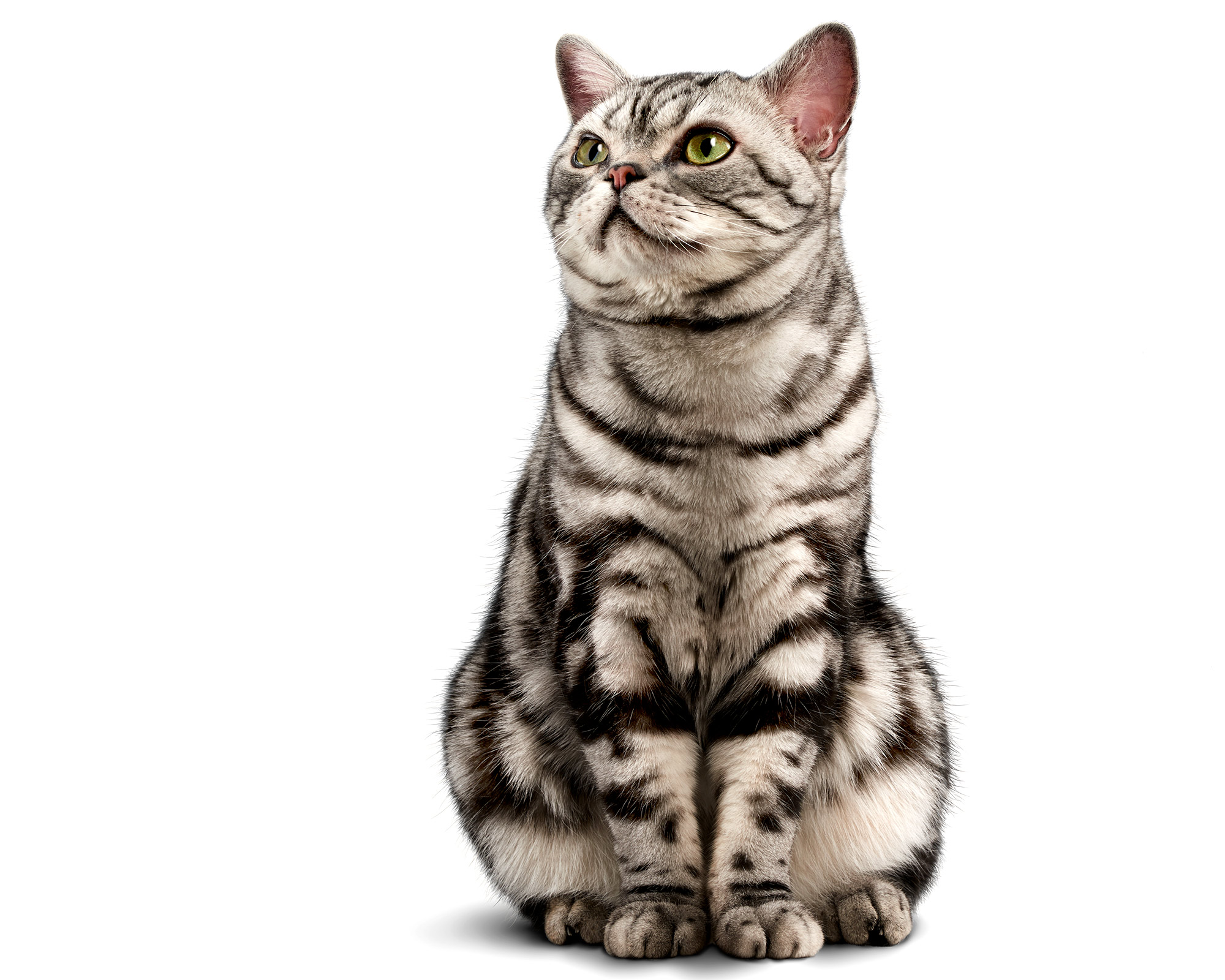 Alex-Silver-Tabby-Cat-Pet-Photo-12725