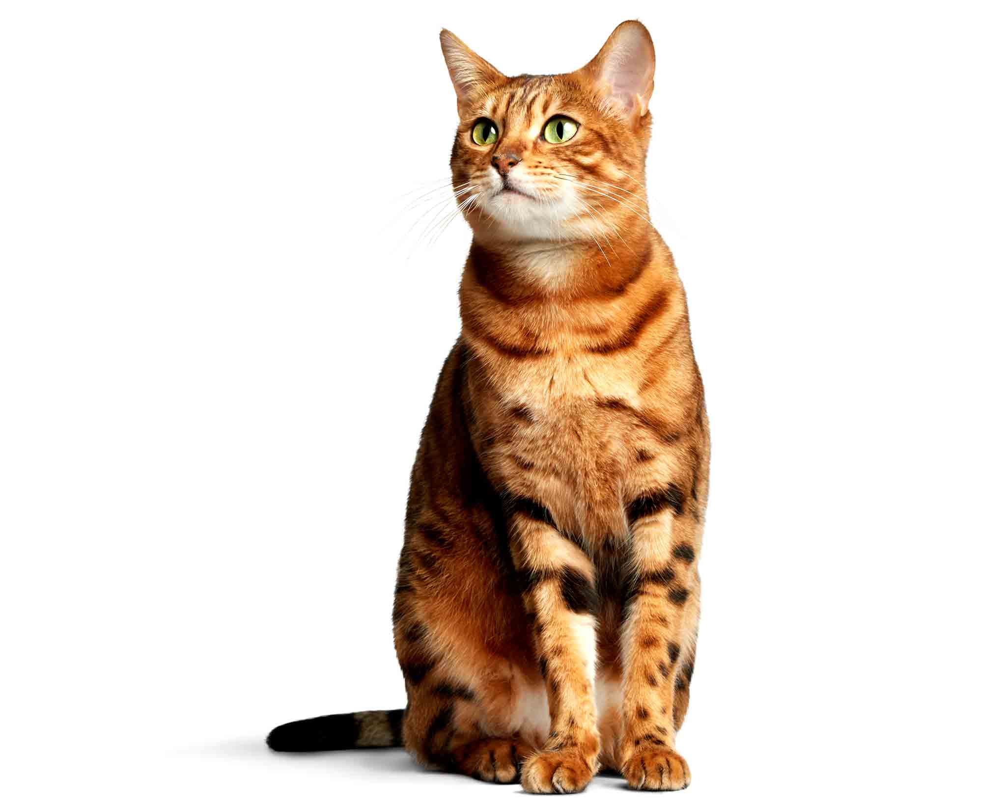 Bengal-Cat-Photo-Zara-Commercial-Animal-Photographer.2