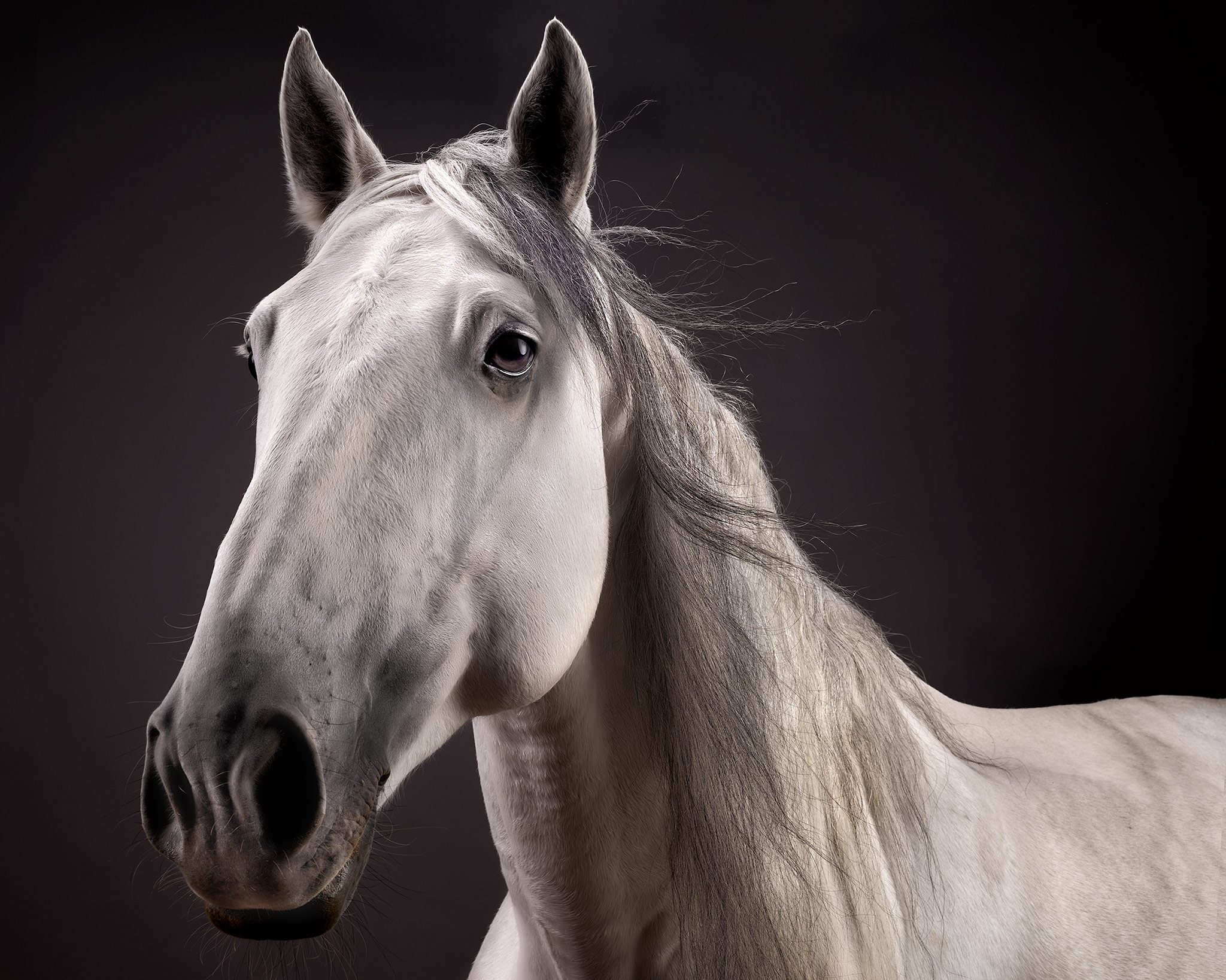 Braseiro-Lusitano-Stallion-Grey-Horse-Fine-Art-Photography
