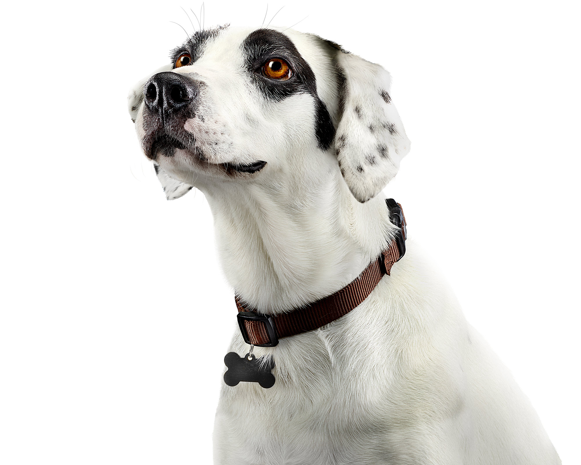 Dalmation-Dog-Portrait-Commercial-Animal-Photographer