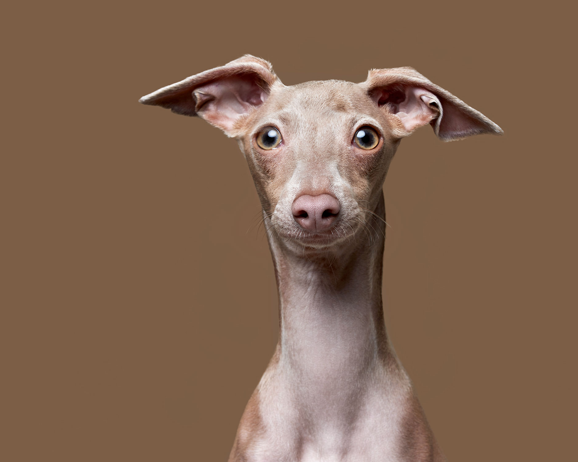 Italian.Greyhound.12503.8.lighter