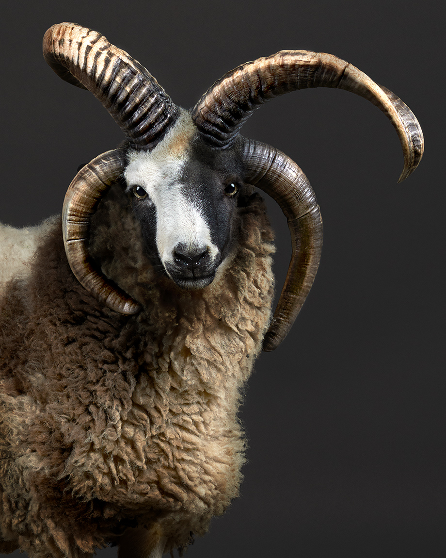 Jacob-sheep-4horns-Peter-Samuels-Bay-Area-ca