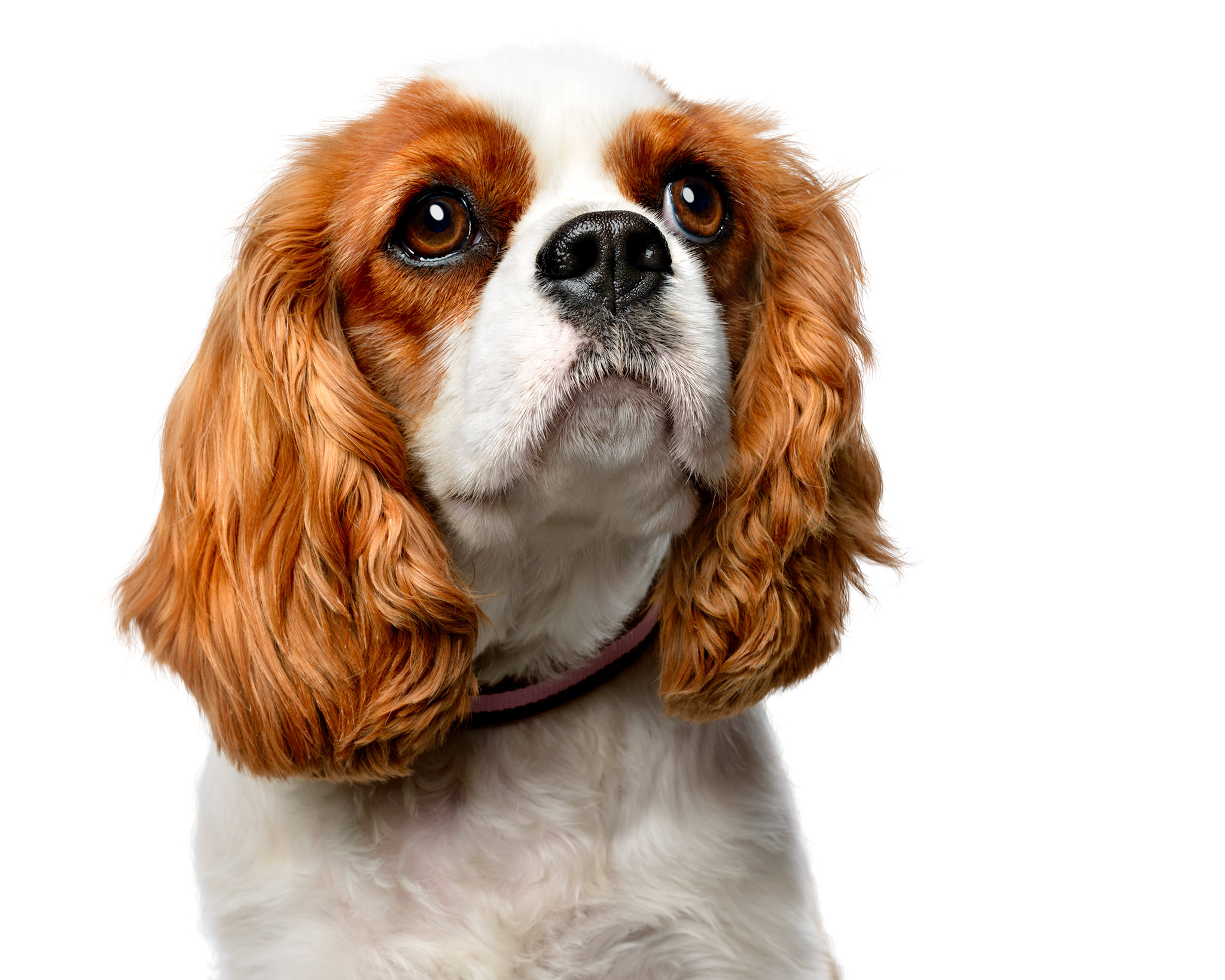 King-Charles-Dog-Pet-Photo-Commercial-Photographer