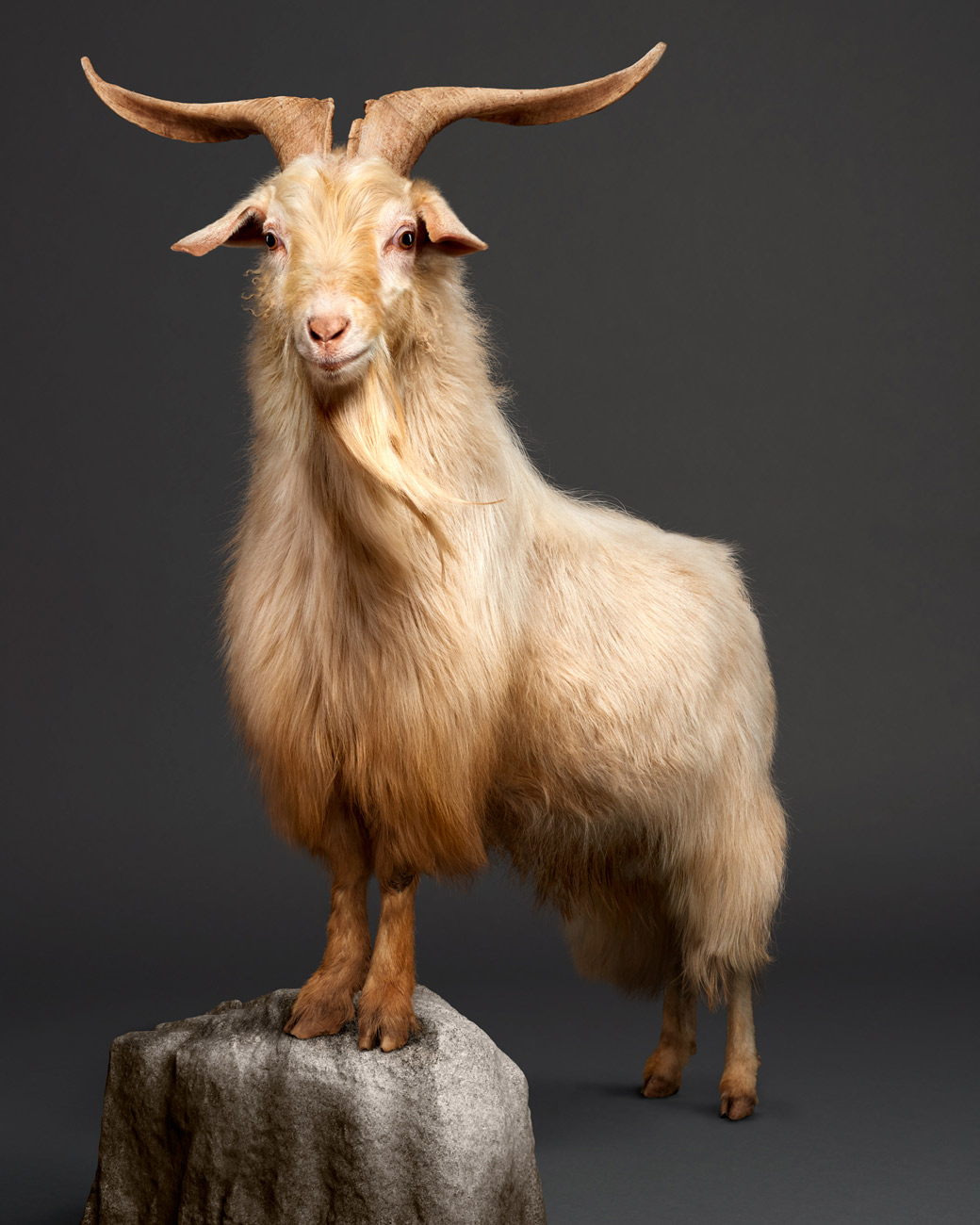 Kristof_Cashmere.Long-Hair.Goat.Art.Photo