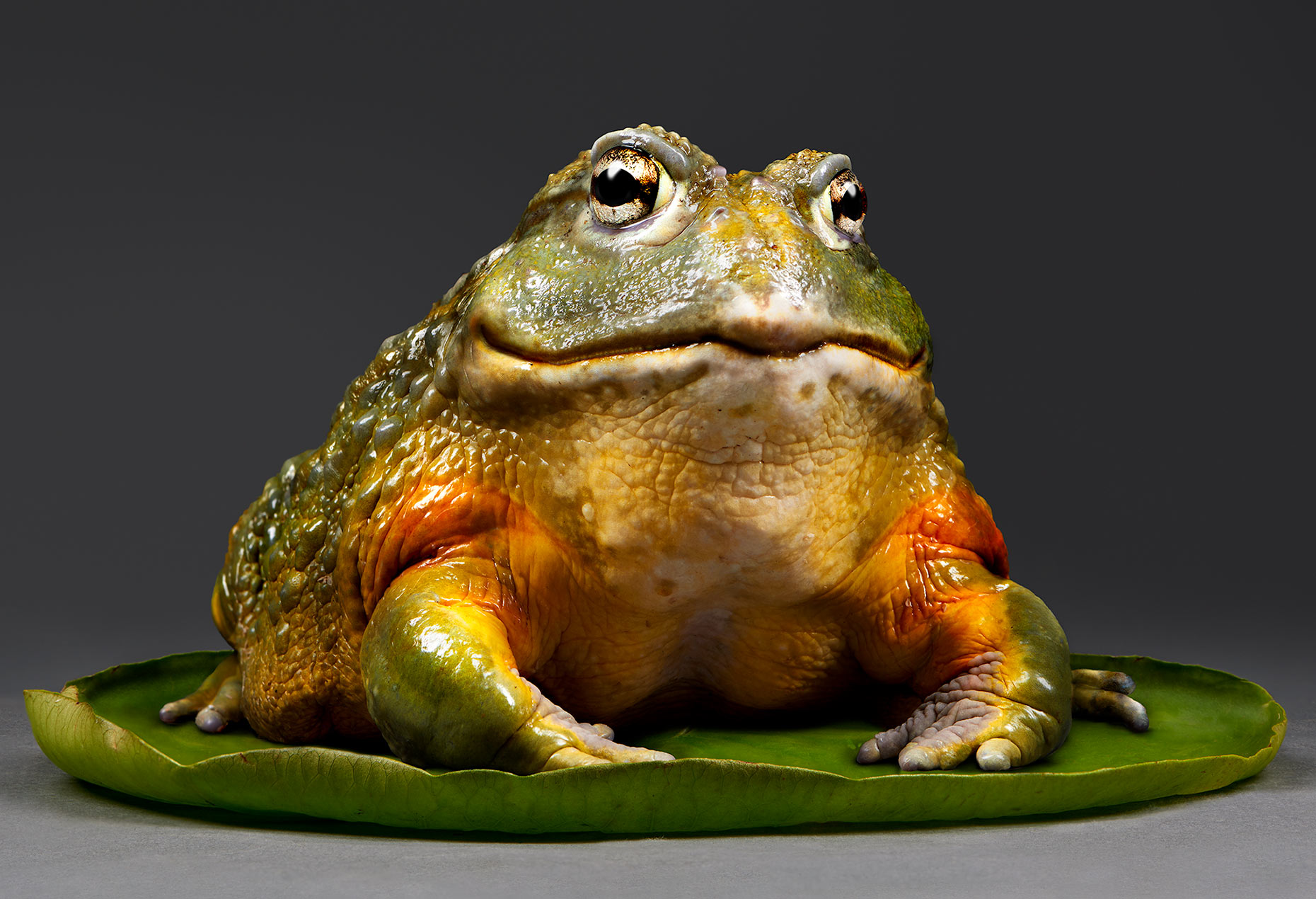 Oberman.Pixie-Frog.African-Bull-Frog
