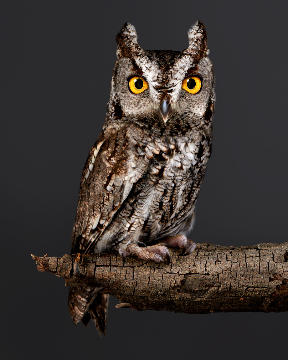Sceerch-owl.animals.fairy-tale.photographer.Ca-20