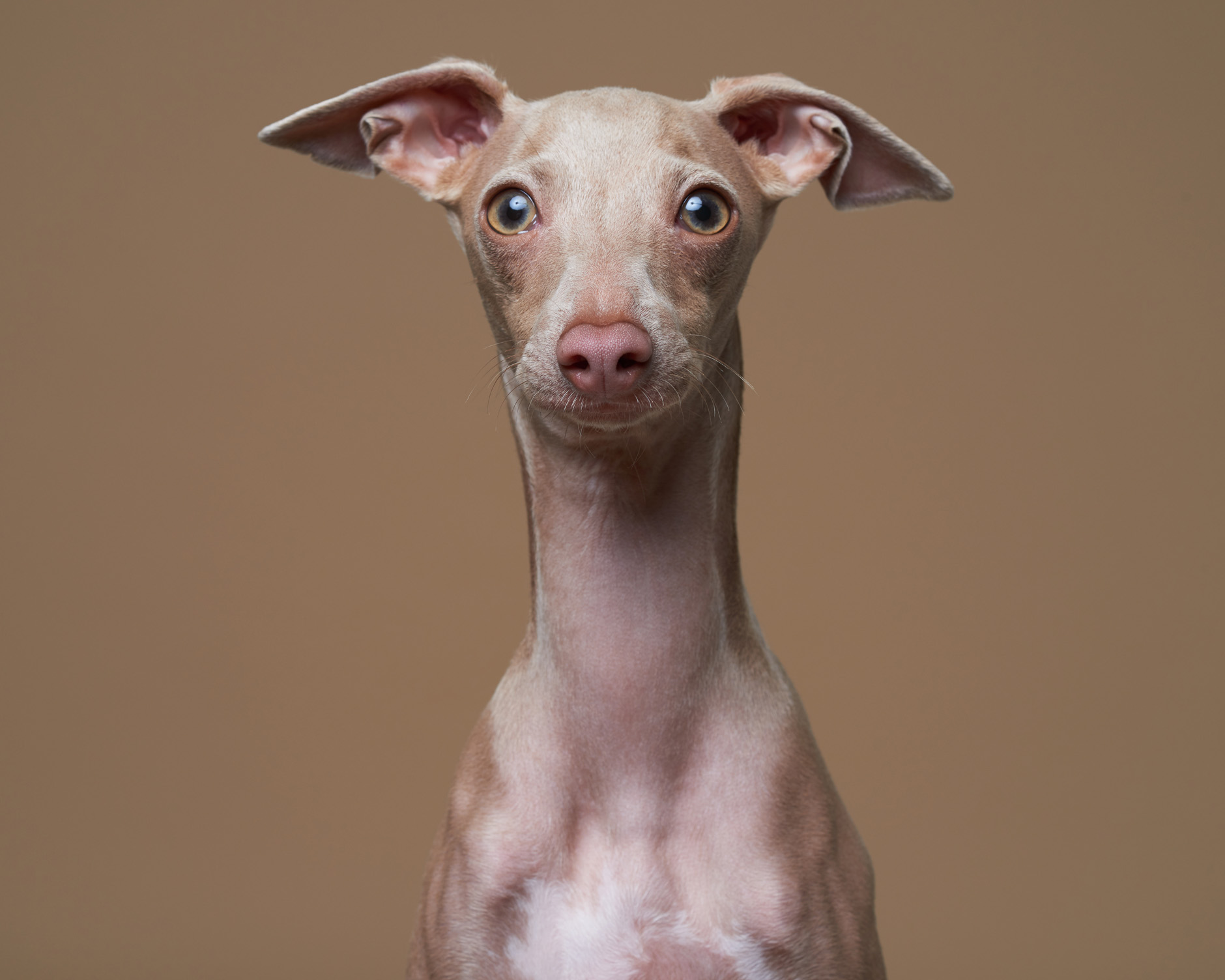 dog pet commercial photographer san francisco bay area Italian greyhound