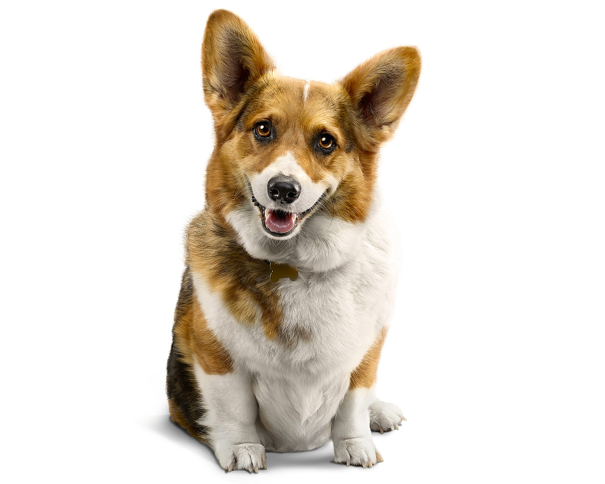 Welsh-Corgi-Dog-Puppy-Portrait-Photo