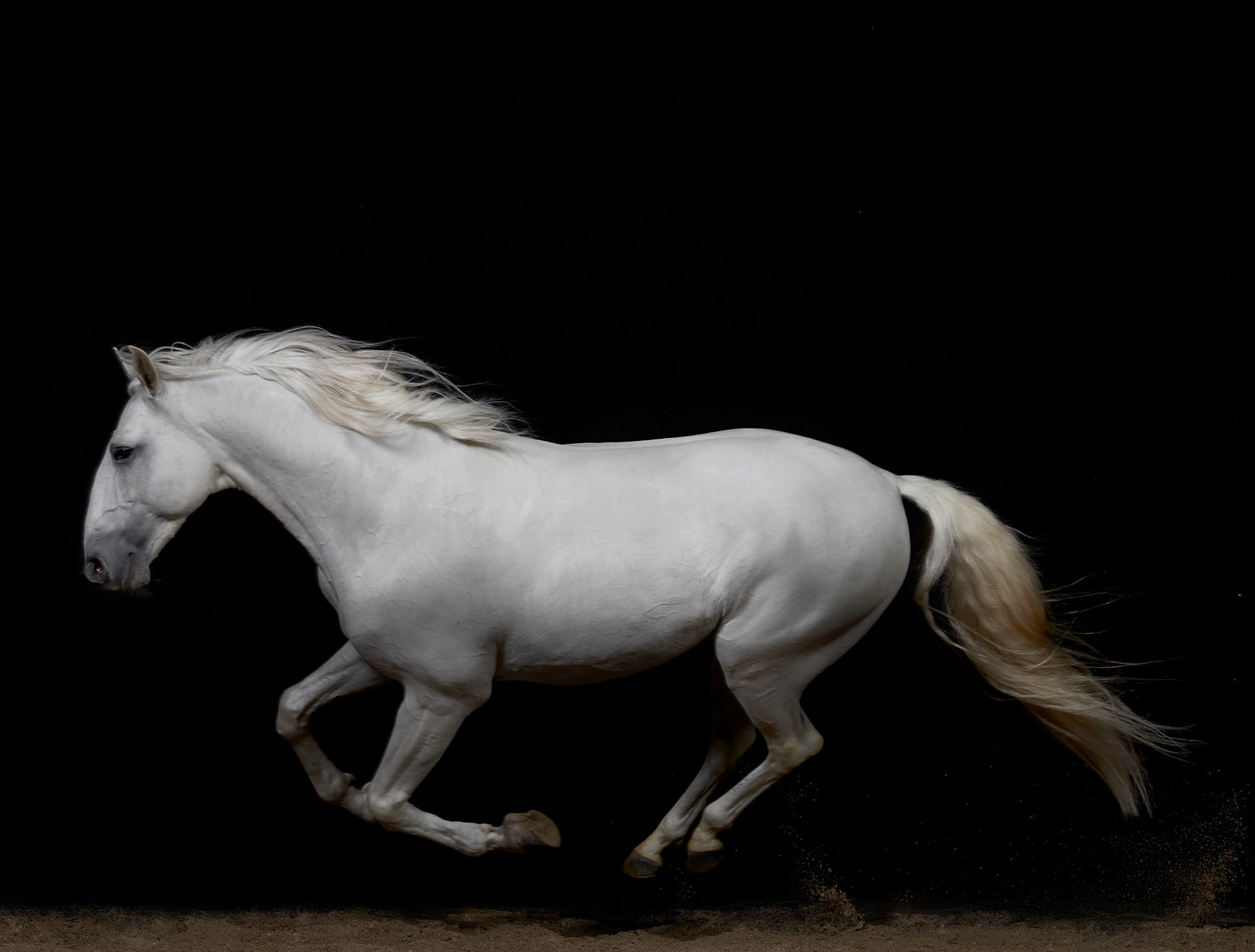 White.Lusitano.Running.2