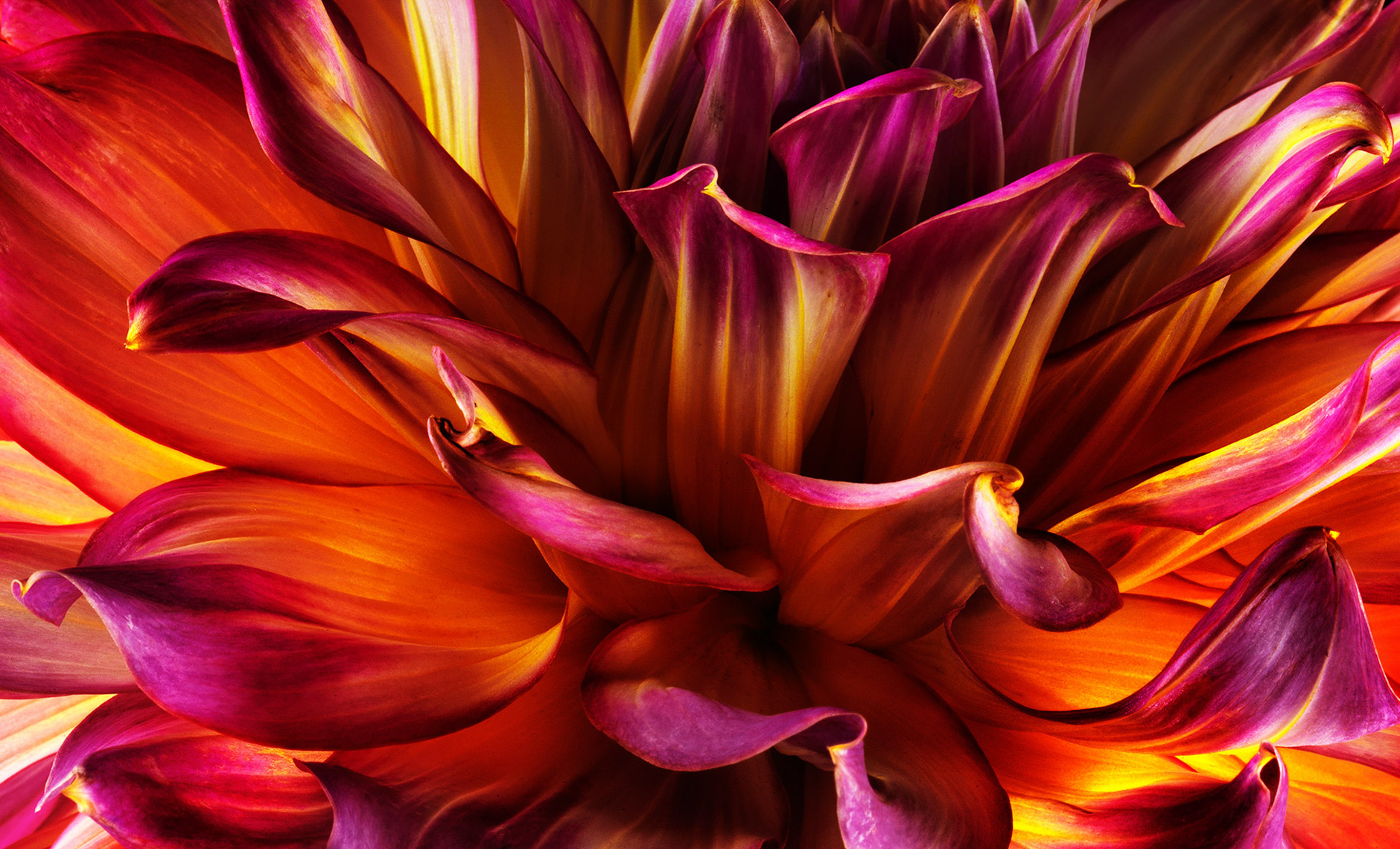 dahlia.flower.fine-art-photographer.commercial.sf.10
