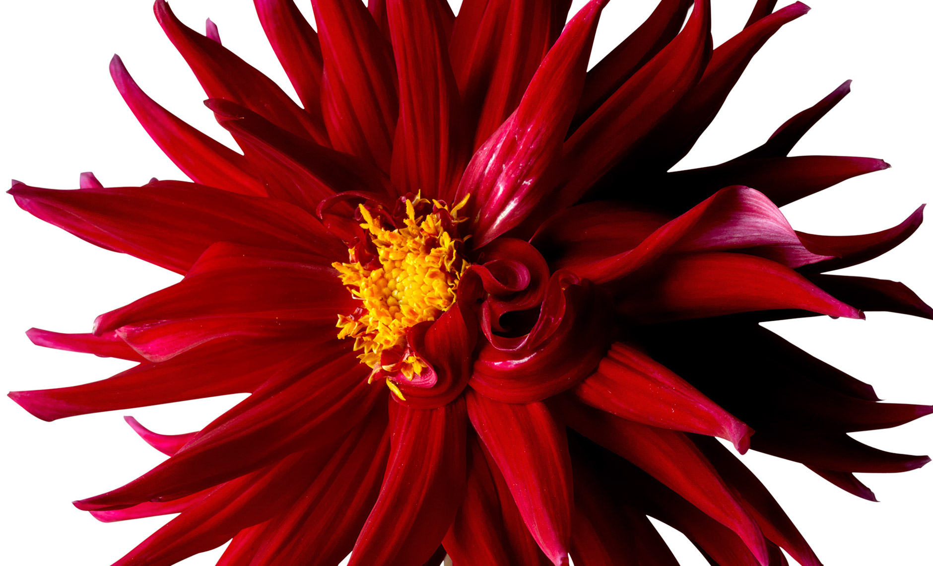 dahlia.flower.photographer.commercial.sf.15