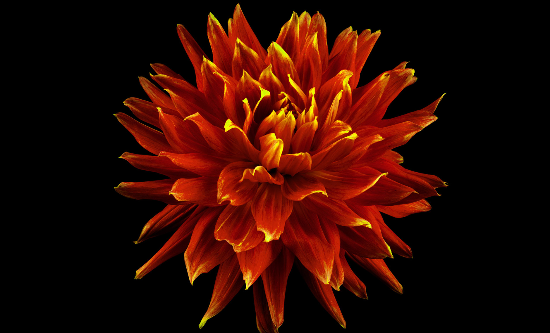 dahlia.flower.photographer.commercial.sf.6