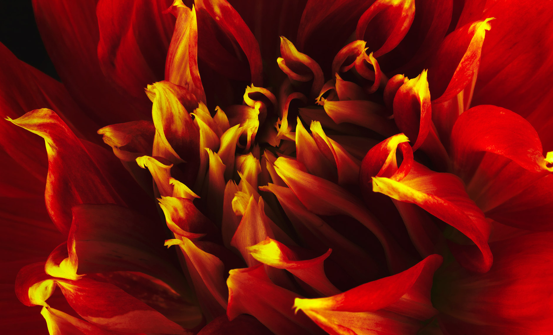 dahlia.flower.photographer.commercial.sf.9
