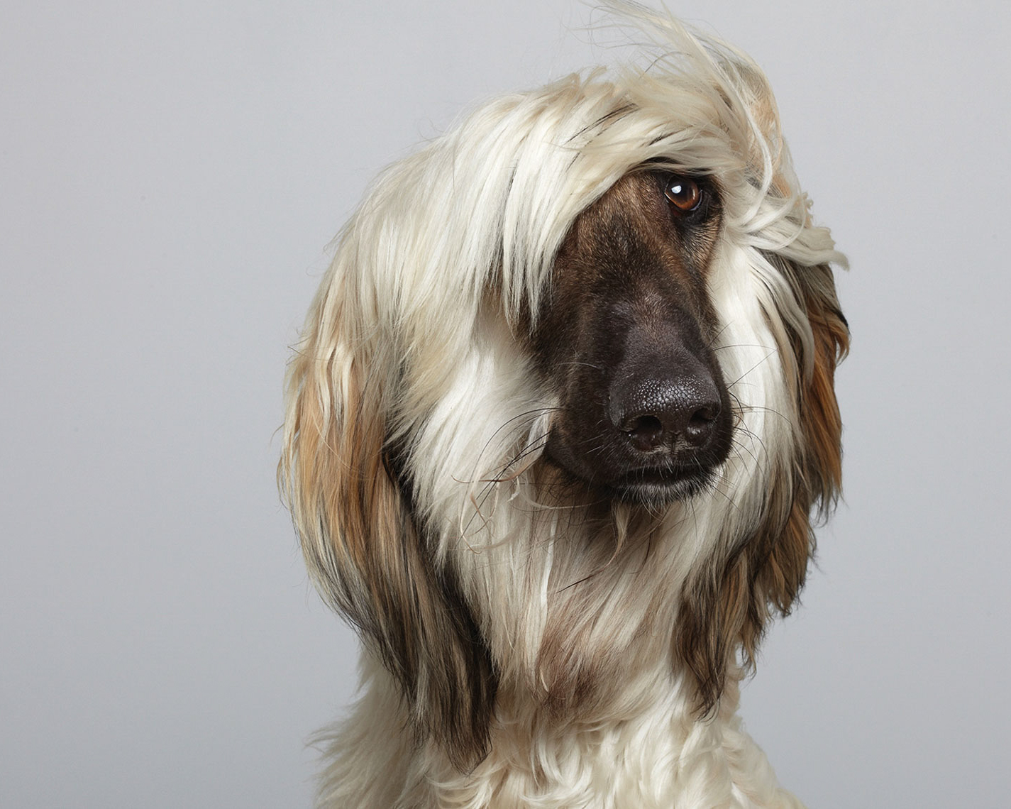 dog pet commercial animal photographer san francisco bay area pet portrait  Afghan  hound canine