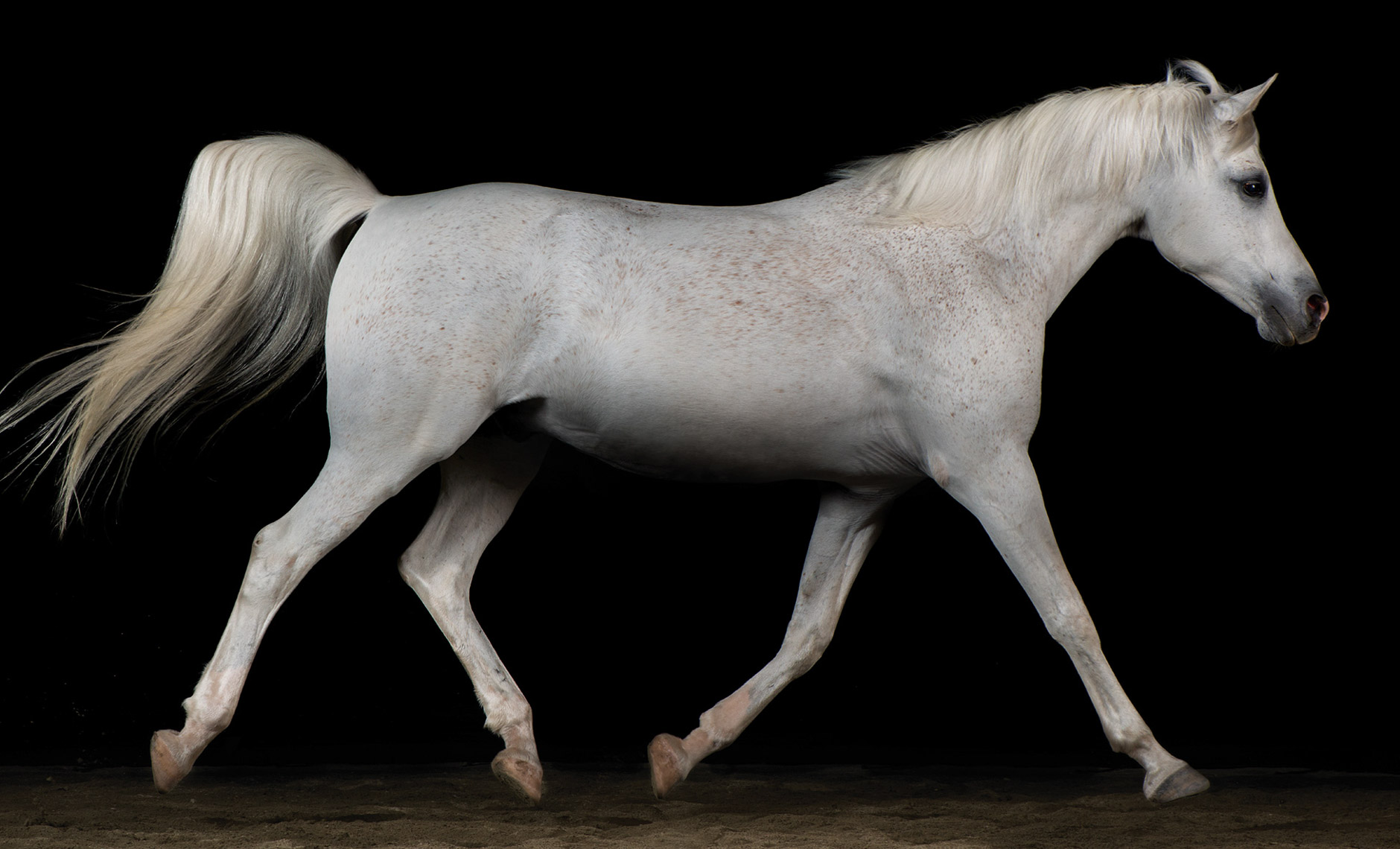 horse.equine.arabian.stride.photo.peter.samuels.2