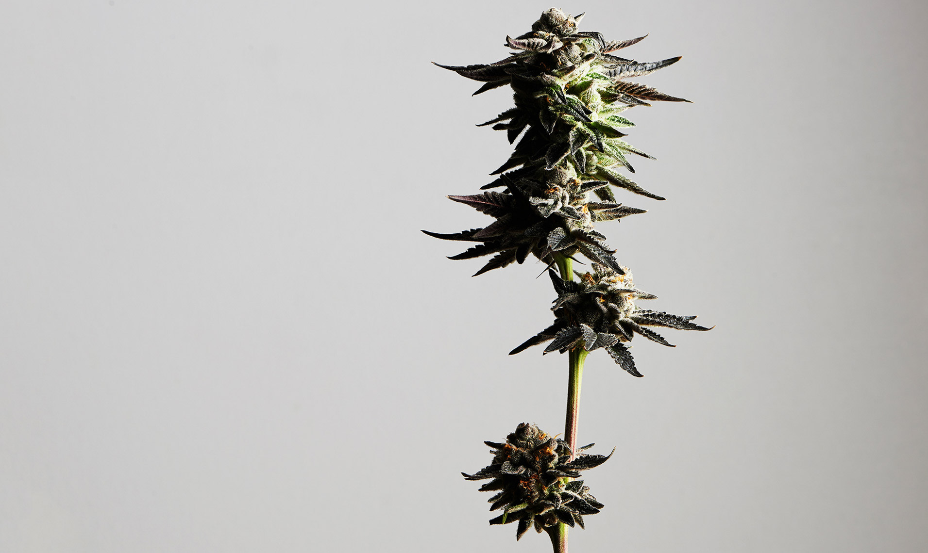 marijuana.photography.sf.4
