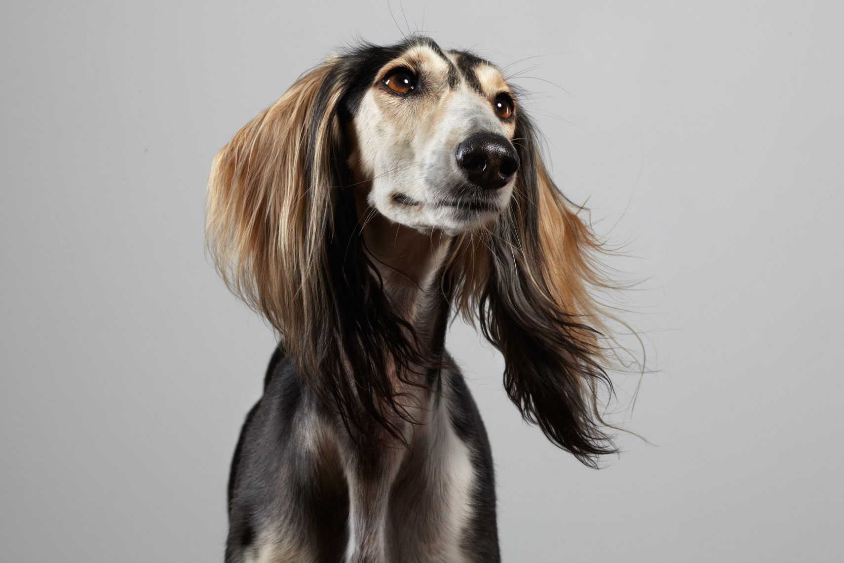 peter.samuels.animal.pet.arabian-saluki_-23