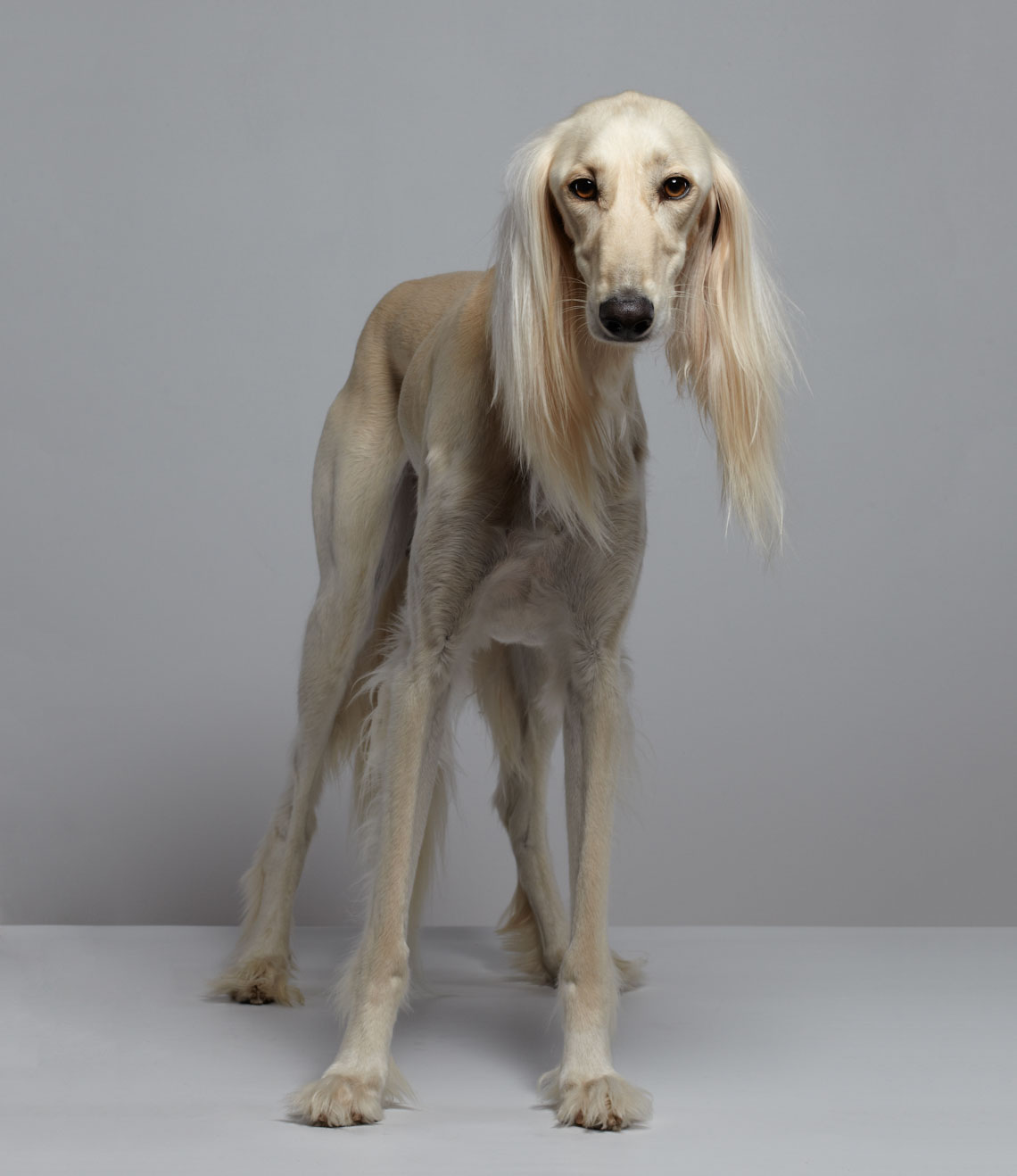 dog pet commercial animal photographer san francisco bay area pet portrait  Arabian saluki
