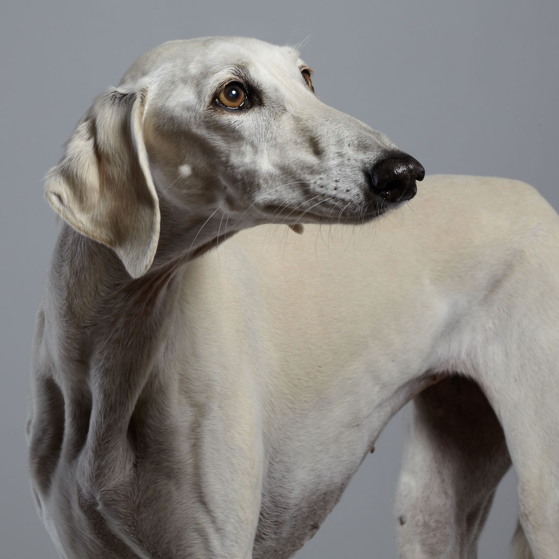 peter.samuels.animal.pet.arabian-saluki_-25