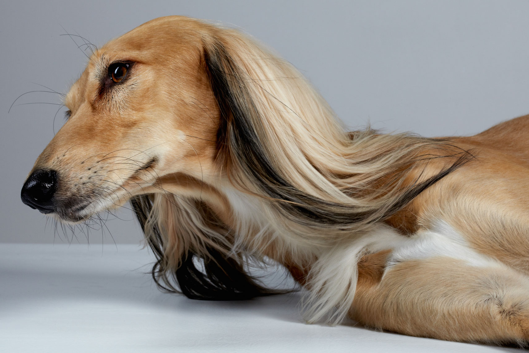 dog pet commercial animal photographer san francisco bay area pet portrait  Arabian saluki  canine